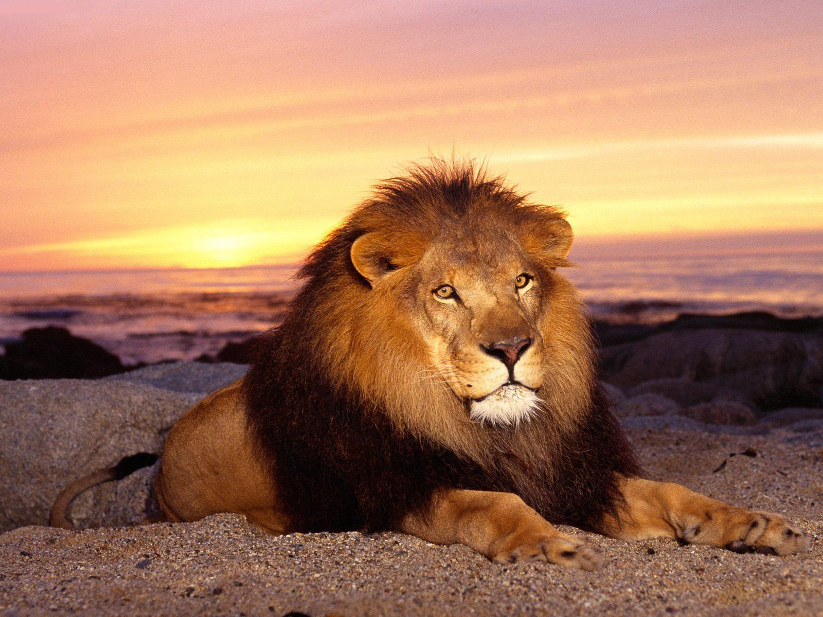 lion hd wallpapers 1024x768 - photo #3