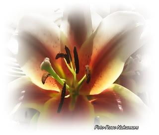 flores de lírio - oriental fotos flores