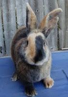 Jenis-jenis kelinci, Herlequin