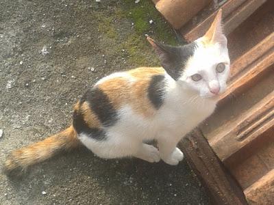 foto kucing kampung lucu 06
