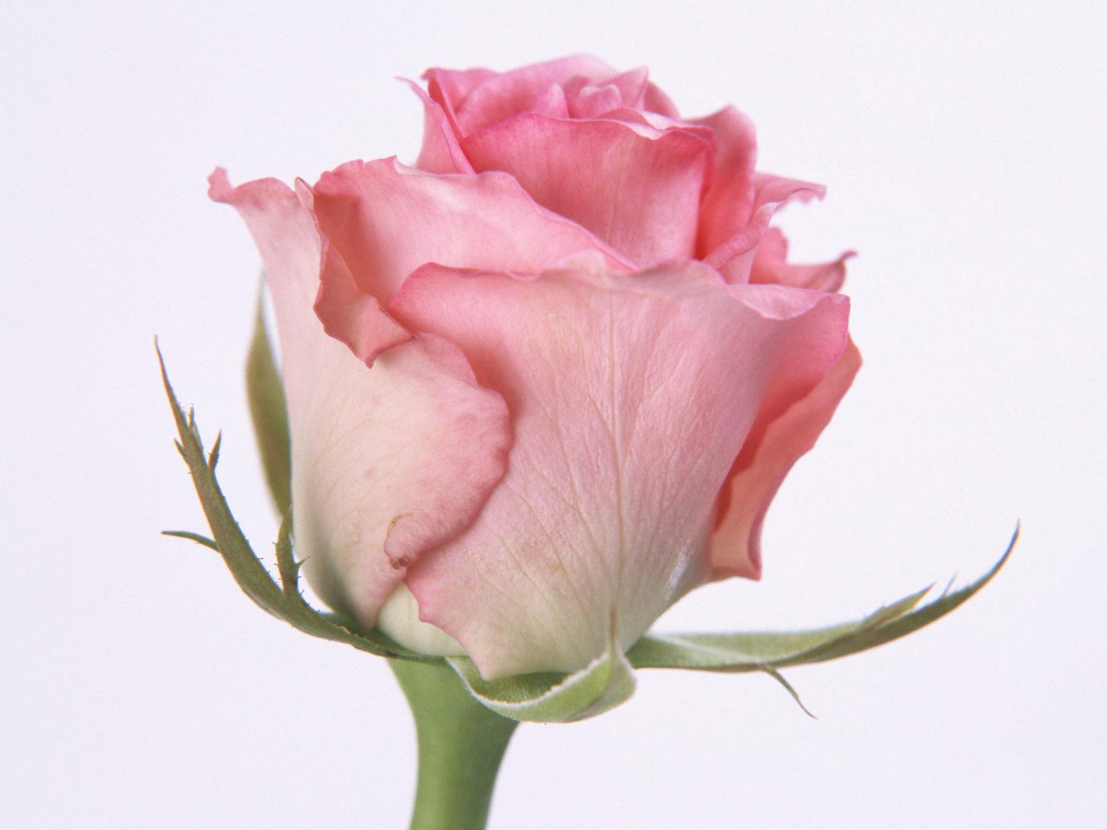 single pink flower rose - photo #32
