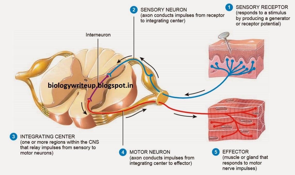 Reflex arc receptor region diagram example electrical wiring diagram biology write up biology articles reflexes and reflex arcs rh biologywriteup blogspot com simple reflex arc diagram labeled simple reflex arc diagram ccuart Image collections