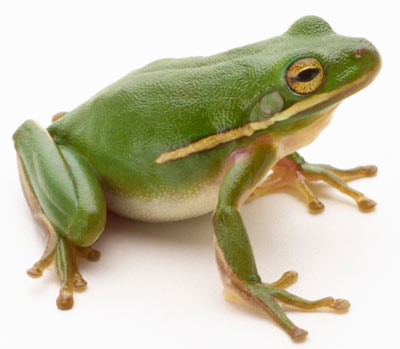 Frog adult