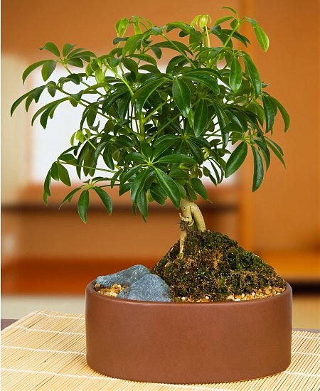 Cheflera – Schefflera arboricola