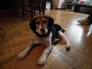 Jake, cachorrito en acogida o adopción urgente. Galicia