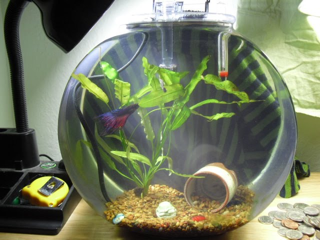Betta fish bowl setup for Betta fish temp