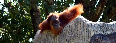 Playful Orangutan at Zoo Atlanta