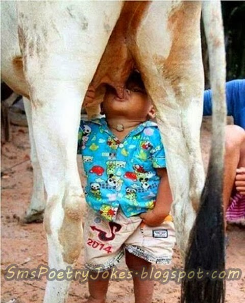 Cow is feeding little baby