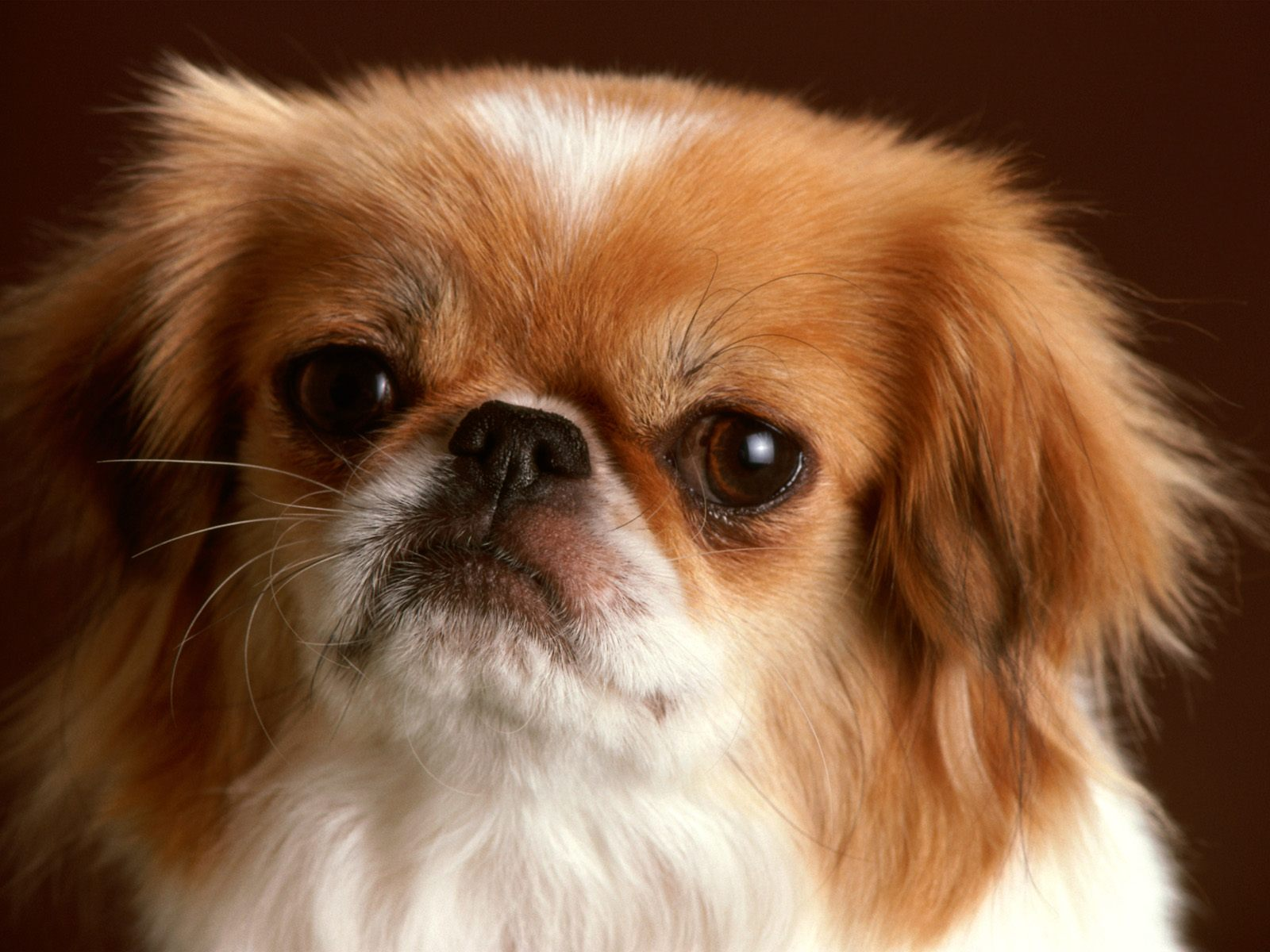 pekingese dog breed info pets animal domestic hound wallpaper