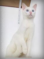 gata branca adoção
