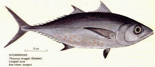Manfaat Dan Fungsi Ikan Tongkol Untuk Kesehatan