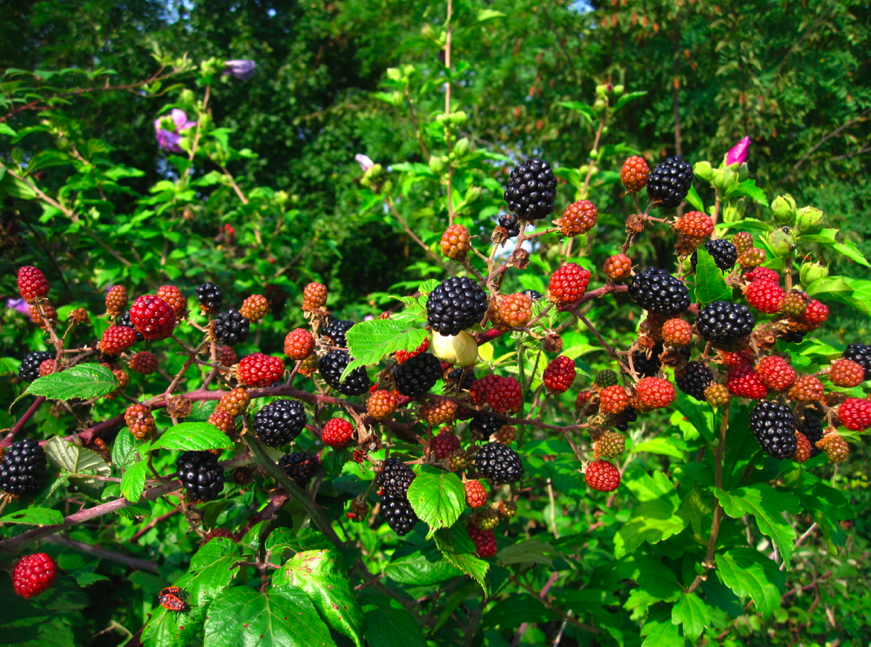Blackberry Bushes, The - Moon Pie