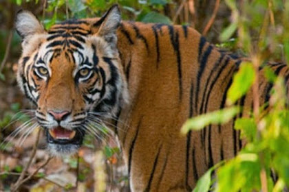 Harimau Seret Istri dan Membawanya ke Hutan di Hadapan Suami