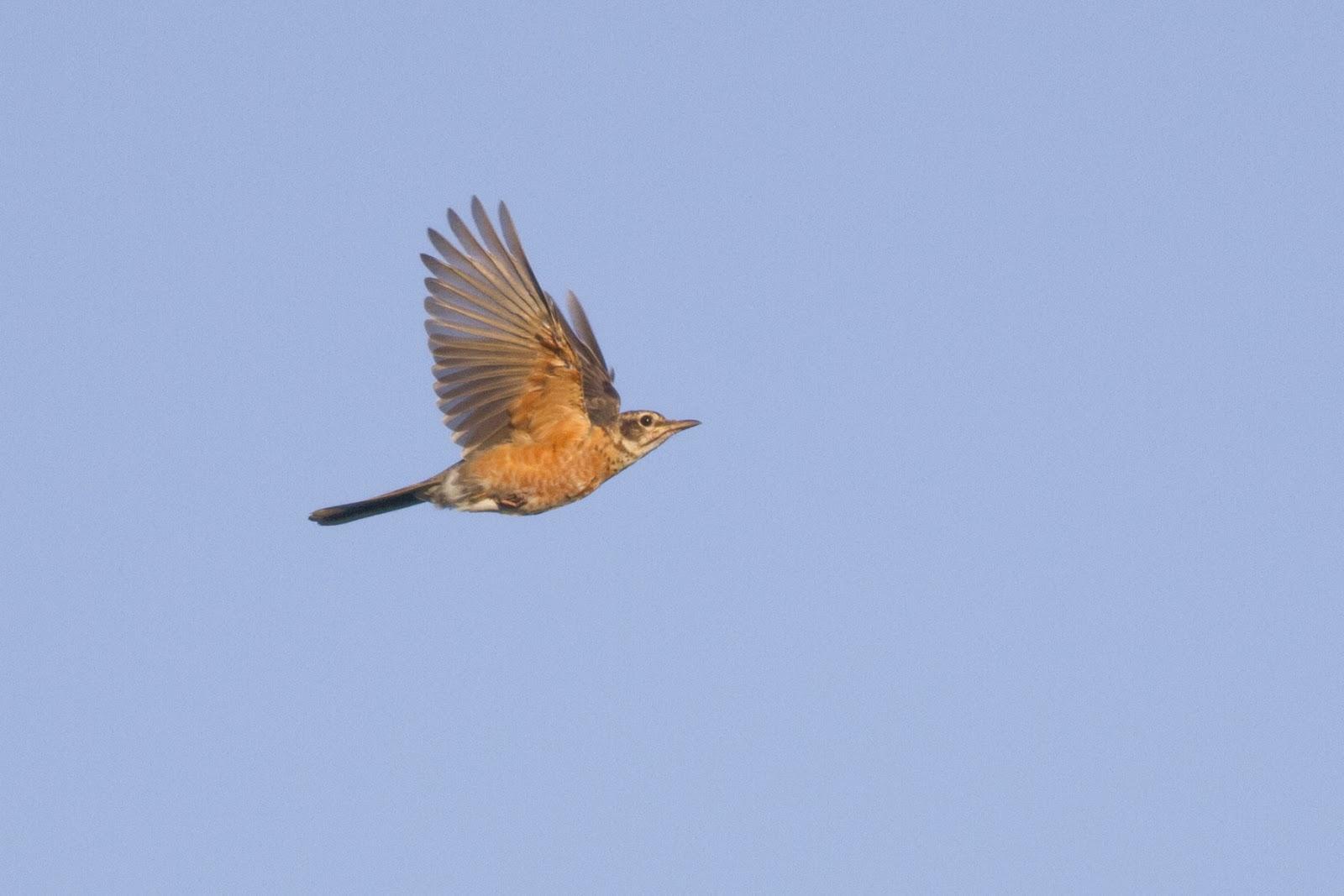 american robin bird flying - photo #12