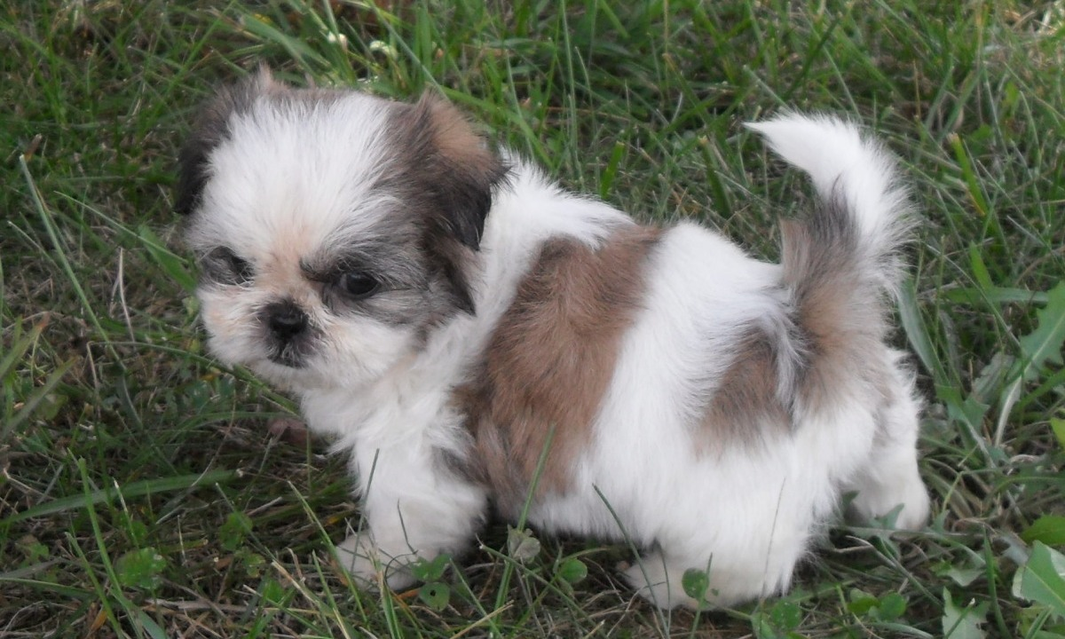 Cute Shih Tzu Puppies Pictures and Photos | Shih Tzu Dogs ...