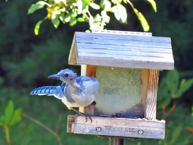bald blue jay on bird house