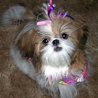 shih tzu dog puppy breeds hound chien hund perro canine animals domestics maskotak pets Haustiere huisdieren animaux de compagnie husdjur info