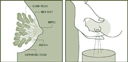 Teknik Terbaik Memerah Susu