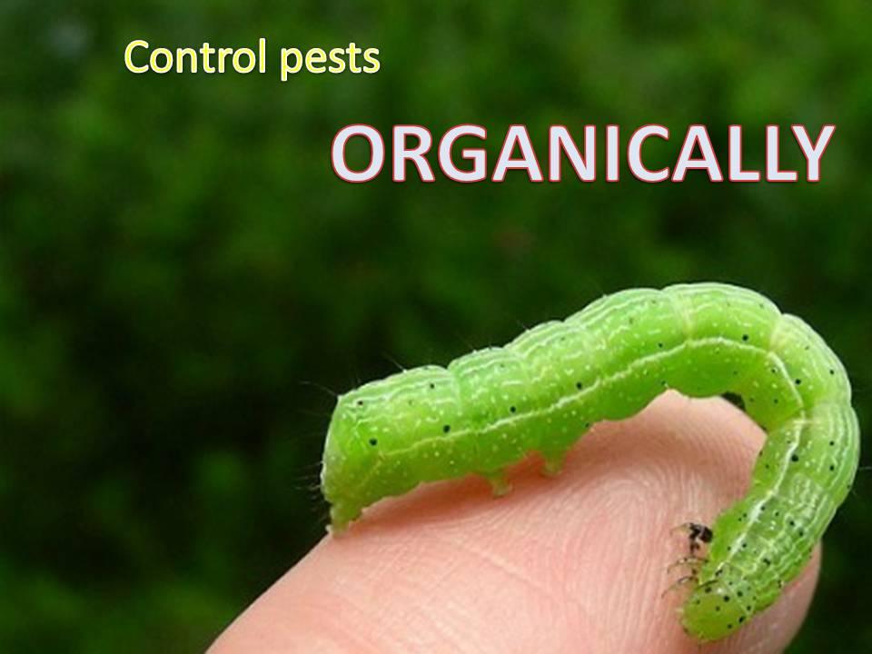 organic pest control Gold Coast