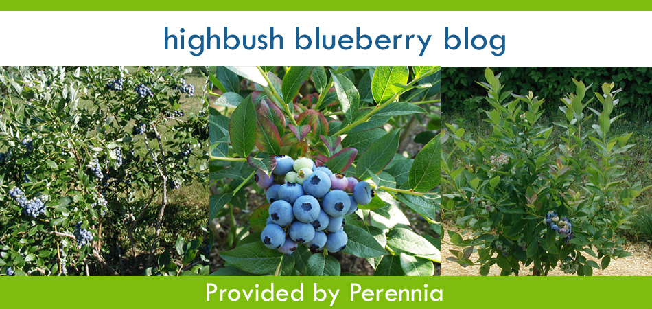 Nova Scotia Highbush Blueberry Blog