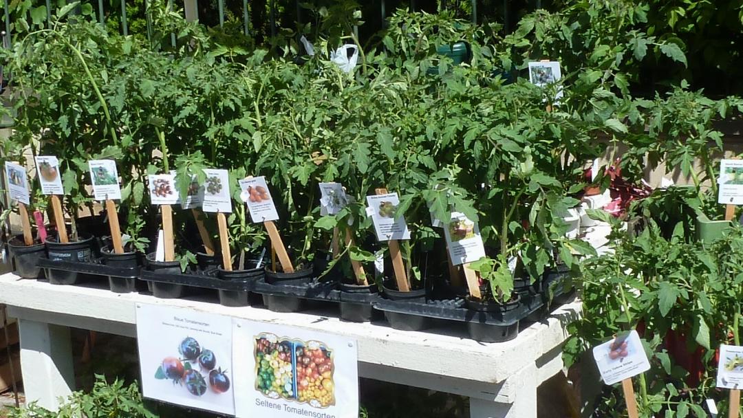 kleiner gem sek nig 2 verkauf von tomatenpflanzen ab hof in w rzburg. Black Bedroom Furniture Sets. Home Design Ideas