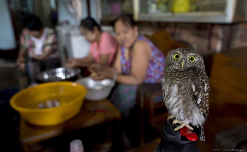 Domesticated owlet feels more comfortable than in a restaurant in Yangon, Myanmar