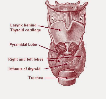 Thyroid Treatment in Homeopathy