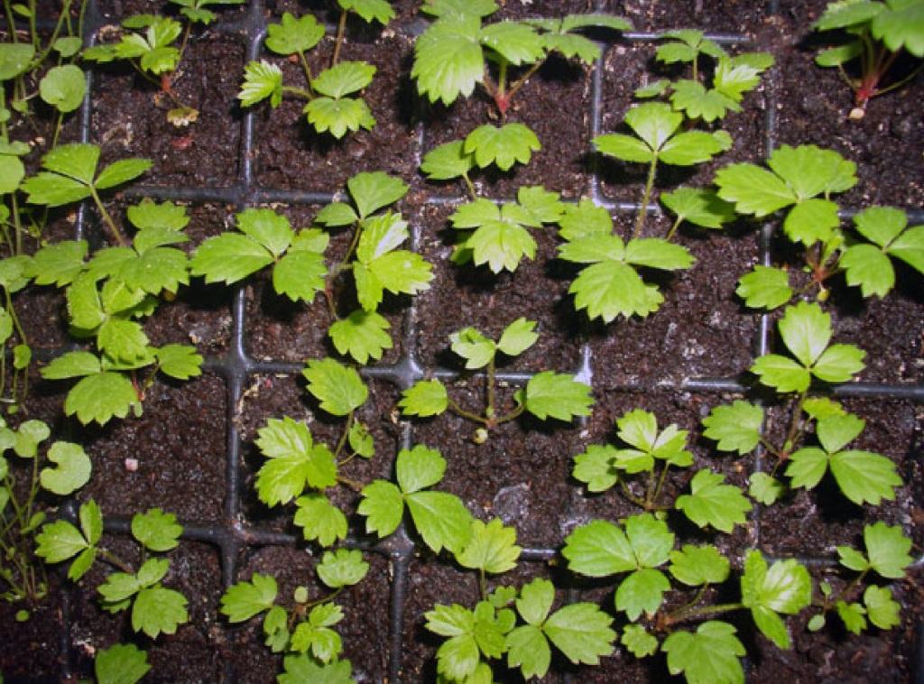 Выращивание земляники из семян отзывы 69
