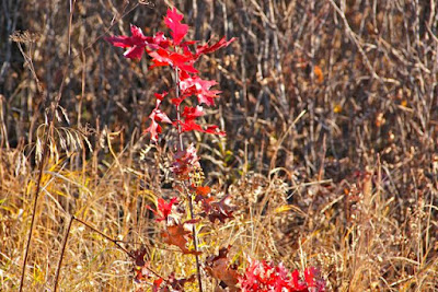 "Crex Meadows ""scarlet"" oak?"