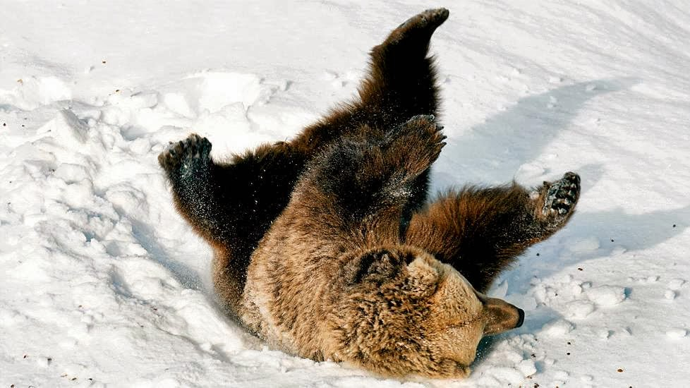 Playful Bears Frolic In Snow After Waking From Hibernation At Helsinki Zoo