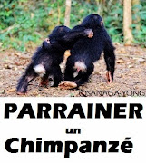 Parrainer un chimpanzé avec LACSY