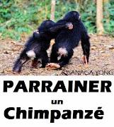 Parrainer un chimpanzé avec LACSY