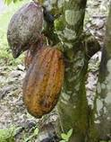 Budidaya Kakao, Budidaya Kakao,Budidaya Kakao, Budidya kakao