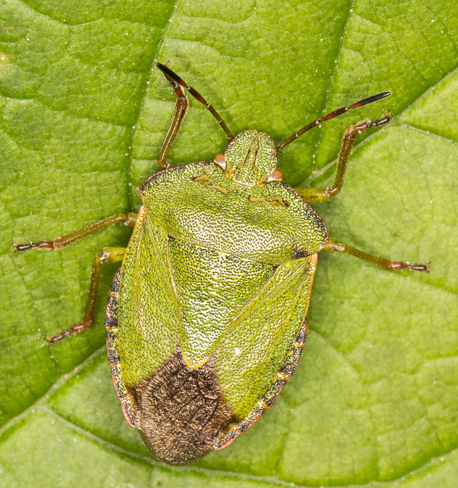 Green Shield Bug, Palomena prasina.  Kemsing Down with the Orpington Field Club on 12 April 2014.