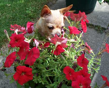 Chihuahua smelling flowers