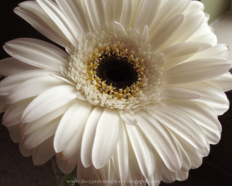 Beautiful Wallpapers gerbera and daisy flower wallpaper