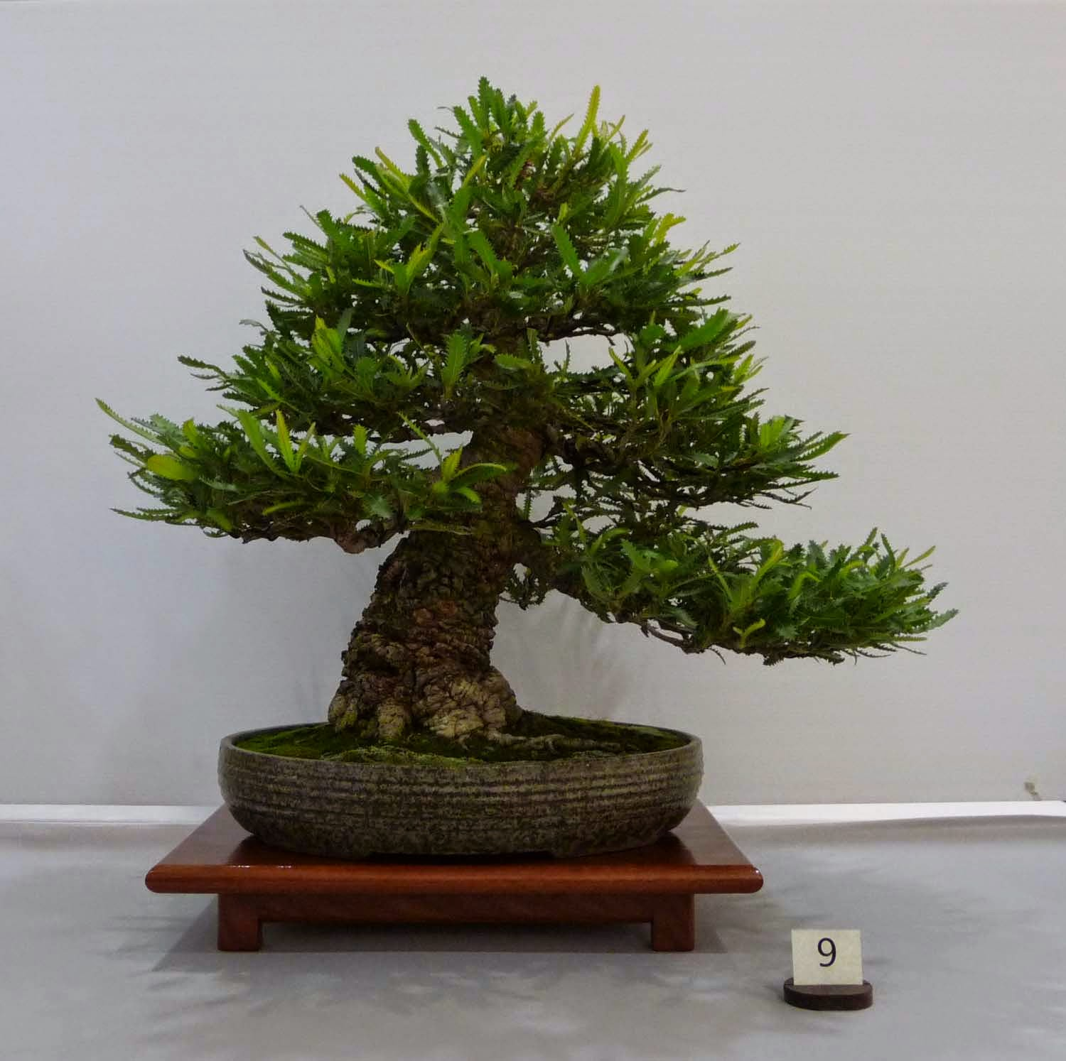 Bonsai Amp Pottery Post 201 Exhibition Of Victorian Native Bonsai Club