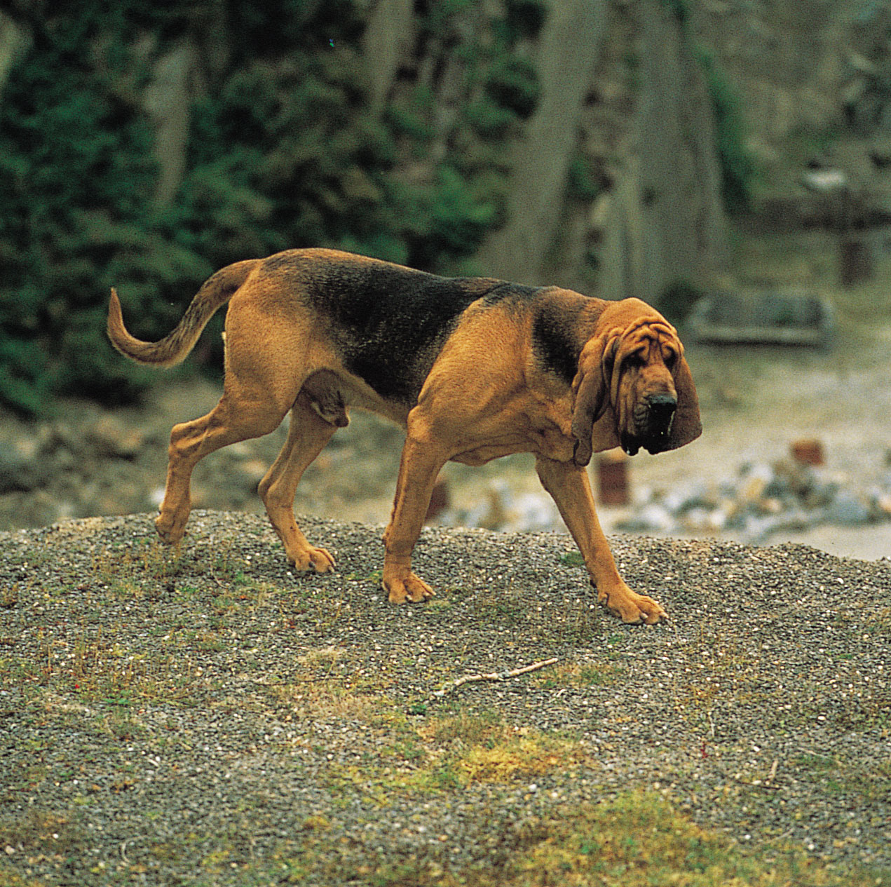 how to train scent detection dogs