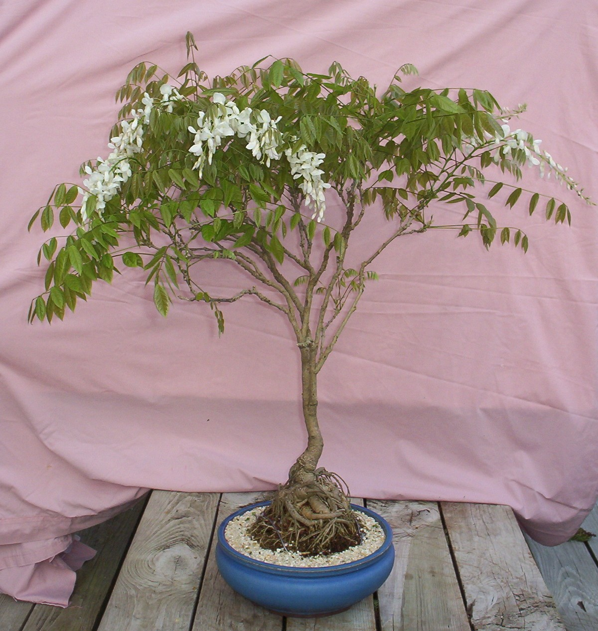 Bonsai Beginnings March 2012
