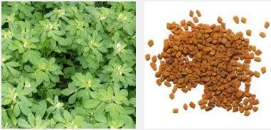 मैथी के फायदे,  Medicinal Use of Fenugreek Seeds in Hindi , मैथी की सेवन विधि, मैथी के बीज से औषधीय प्रयोग, मैथी से स्वास्थ्य लाभ,