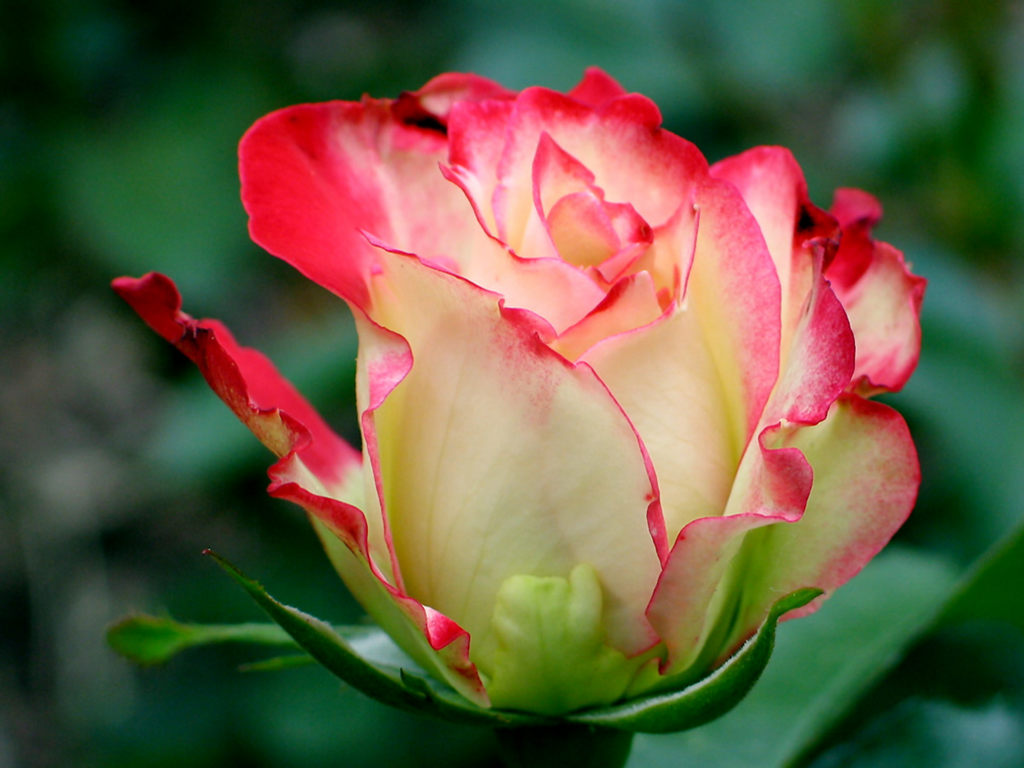 Flower Wallpapers Flower Pictures Red Rose Flowers