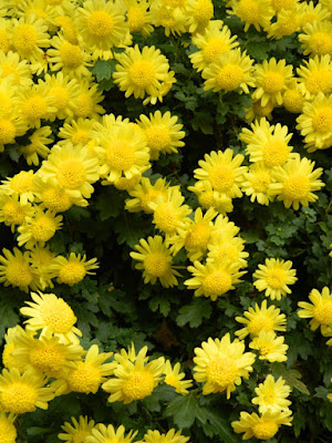 Yellow single mums at the Allan Gardens Conservatory 2015 Chrysanthemum Show by garden muses-not another Toronto gardening blog