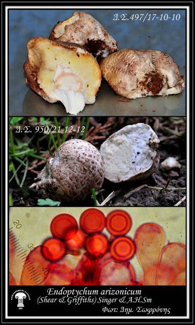 Endoptychum arizonicum (Shear & Griffiths) Singer & A.H. Sm.