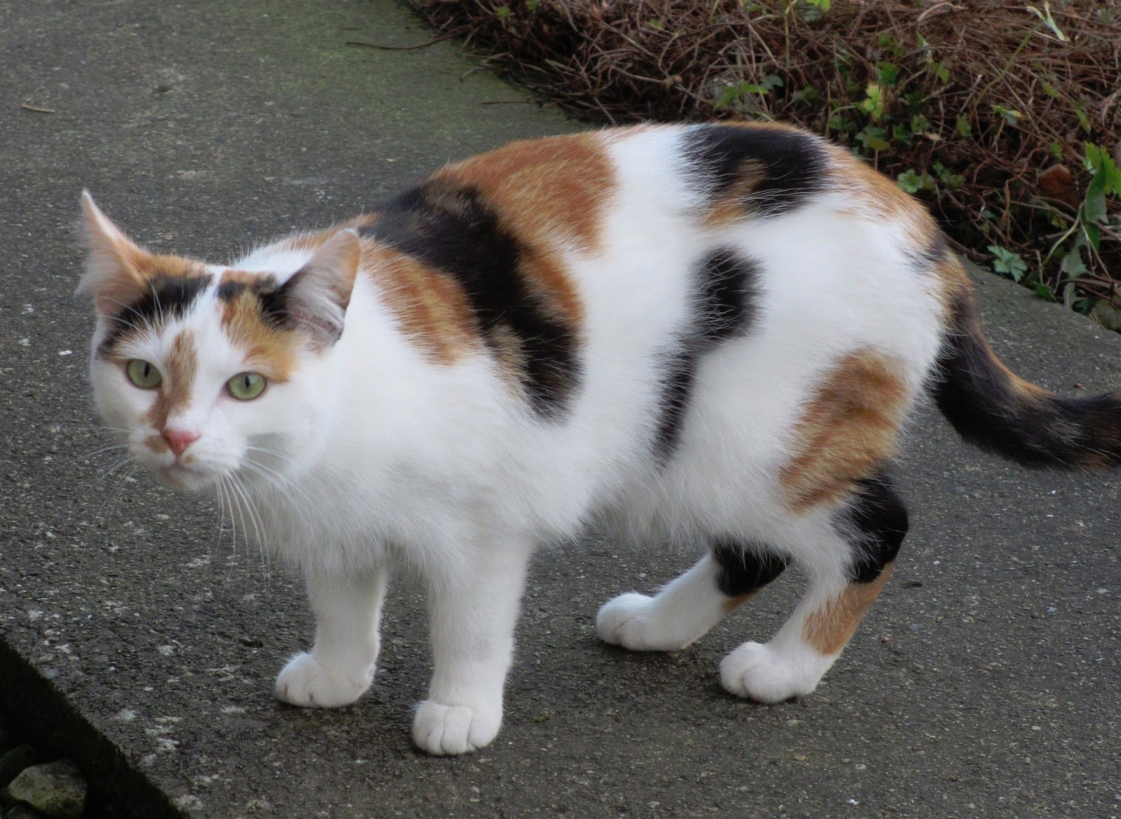 Calico Cat With Interesting Gps >> Nilly Hall Calico Cats