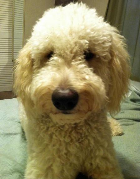 Cute Dogs: Golden Retriever Poodle Mix