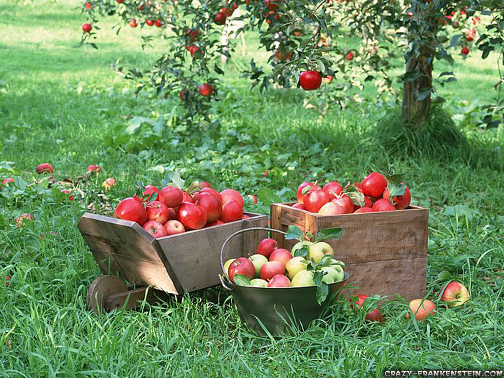 http://1.bp.blogspot.com/-cVhvAq93-cc/UDhsANNpGCI/AAAAAAAADe4/stBx9UZUlI8/s1600/fruit-apples-apple-tree-wallpapers-1024x768.jpg