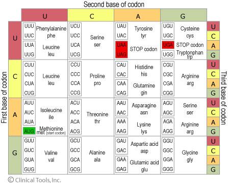 Codon Amino Acid Chart