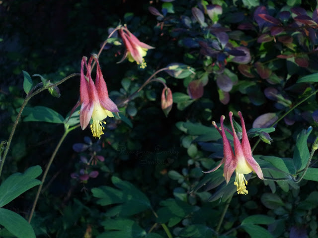 Red Columbine flowers