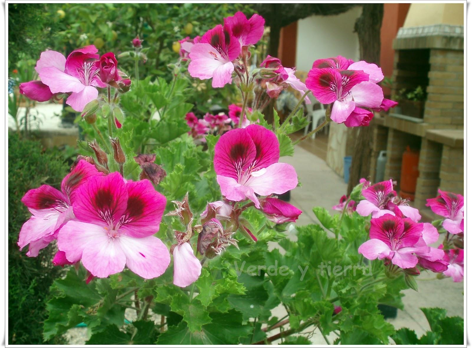 Verde y tierra geranio pelargonium - Geranio de pensamiento ...