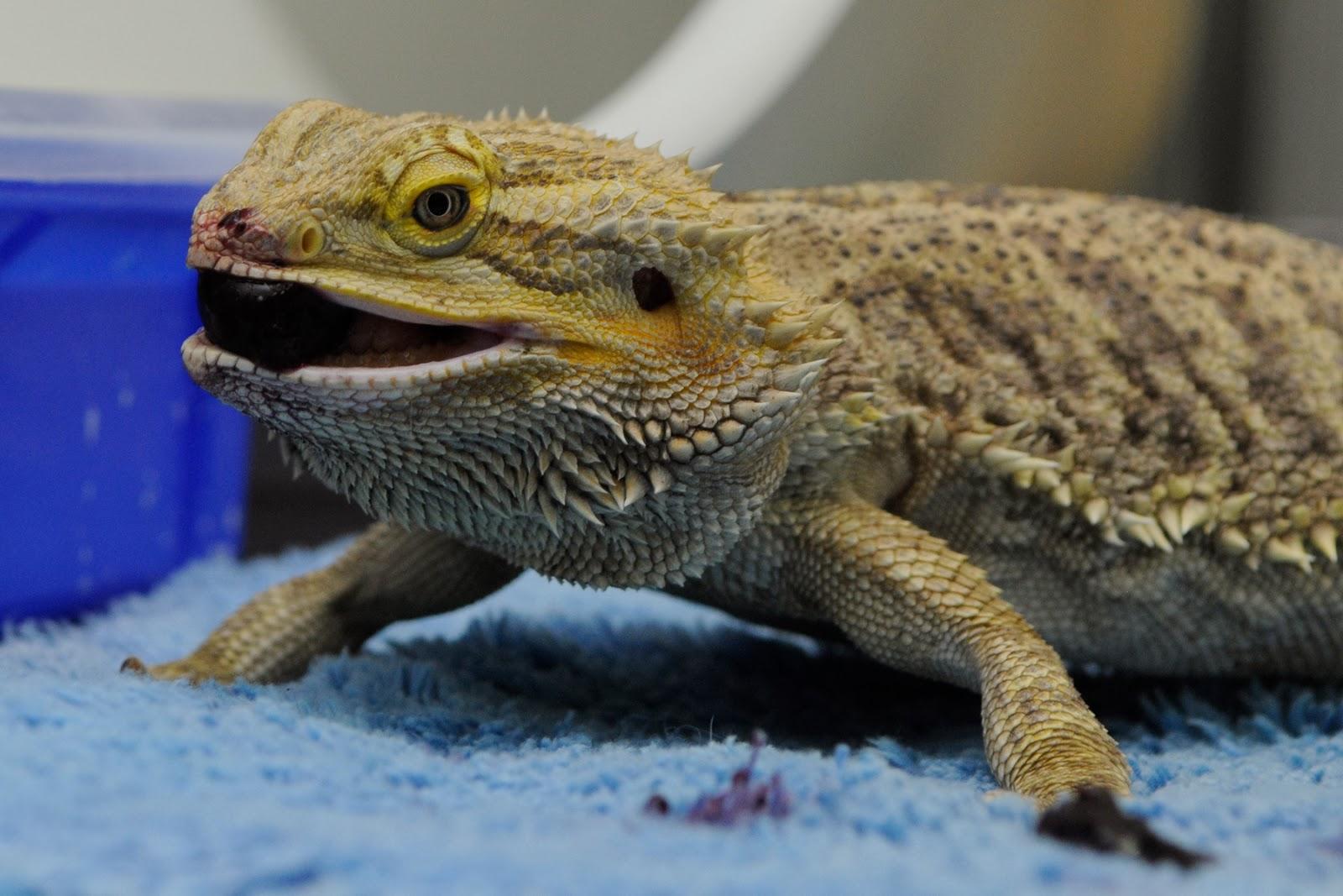 Small Animal Talk: Lizard medicine 101: How do you treat a ...